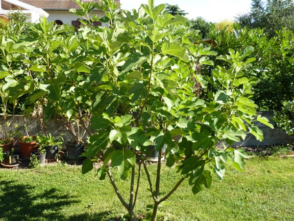 What does a fig tree look like